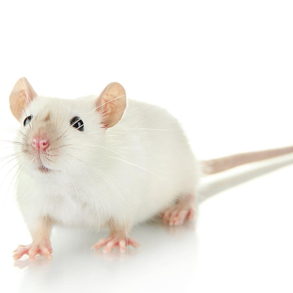 Tattoo-Mäuse deuten an, wie Tattoos bestehen können Immunzelle